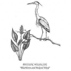 Pocosin Arts Gallery - Max Liverman, Blue Heron Card